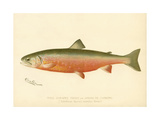 Male Sunapee Trout Giclee Print