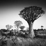 Namibia Quiver Trees Fotografisk tryk af Nina Papiorek