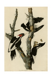 Ivory Billed Woodpecker Impression giclée
