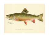 Male Brook Trout Giclee Print