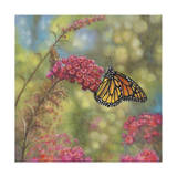 Monarch Butterfly Giclee Print by John Zaccheo