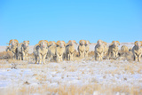 Line Em Up Rams Photographic Print by Amanda Lee Smith