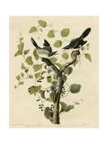 Loggerhead Shrike Impression giclée