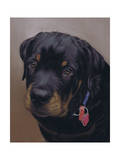 Rottweiler Solo Giclee Print by Karie-Ann Cooper
