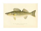 Pike Perch Giclee Print