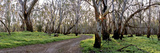 Redgum Forest Photographic Print by Wayne Bradbury