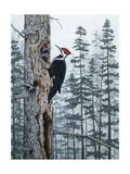 Piliated Woodpeckers Giclee Print by Jeff Tift