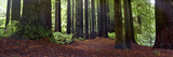 Redwoods 1 Photographic Print by Wayne Bradbury