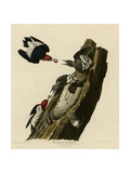 Red Headed Woodpecker Impression giclée