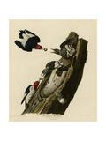 Red Headed Woodpecker Giclee Print