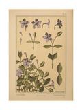 Periwinkle Giclee Print
