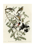 Rose Breasted Grosbeak Giclee Print