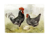 Roosters Giclee Print