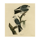 Mississippi Kite Reproduction procédé giclée