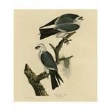 Mississippi Kite Giclee Print