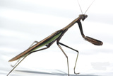 Praying Mantis Photographic Print by Karen Williams
