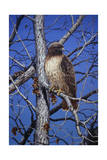 Red Tailed Hawk Impression giclée par Jeff Tift