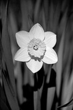 Single Daffodil HR Photographic Print by Jeff Pica
