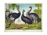 The Ostrich Giclee Print