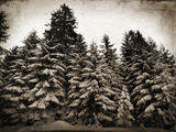 Old Growth Photographic Print by Tina Lavoie