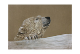 Polar Bear Giclee Print by Rusty Frentner