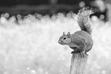 Squirrel Photographic Print by Giuseppe Torre