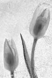 Tulipanes Blancos Photographic Print by Moises Levy