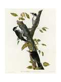 Three Toed Woodpecker Giclee Print