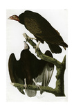 Turkey Buzzard Giclee Print