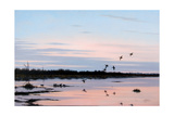 Sunset March Black Ducks Giclee Print by Wilhelm Goebel