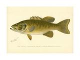 Small Mouthed Black Bass Reproduction procédé giclée