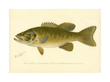 Small Mouthed Black Bass Giclee Print