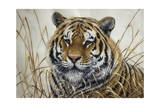Tiger Giclee Print by Jeff Tift