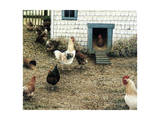 The Chicken Coop Giclee Print by Kevin Dodds