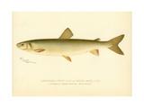 Adirondack Frost Fish Giclee Print