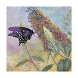 Admiral Butterfly Giclee Print by John Zaccheo