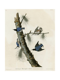 Whitebreasted Black Capped Nuthatch Giclee Print