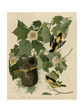 Baltimore Oriole Giclee Print
