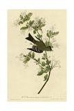 Wood Pewee Giclee Print