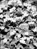 Begonias Photographic Print by Jeff Pica