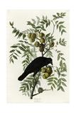 American Crow Giclee Print