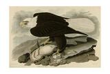 White Headed Eagle Giclée-Druck