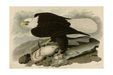White Headed Eagle Giclee Print
