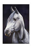 White Arabian Stallion Giclee Print by Jenny Newland