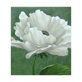 White Poppy Giclee Print by John Zaccheo