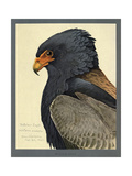 Abyssinian Bateleur Eagle Giclee Print