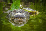 Alligator 2 Fotografisk tryk af Dennis Goodman