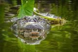 Alligator 2 Reprodukcja zdjęcia autor Dennis Goodman