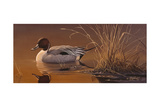 Amber Light - Pintail Giclee Print by Wilhelm Goebel