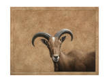 Barbary Ram Giclee Print by James W. Johnson